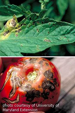Early blight spots with yellow halo on leaf, lesions on tomato